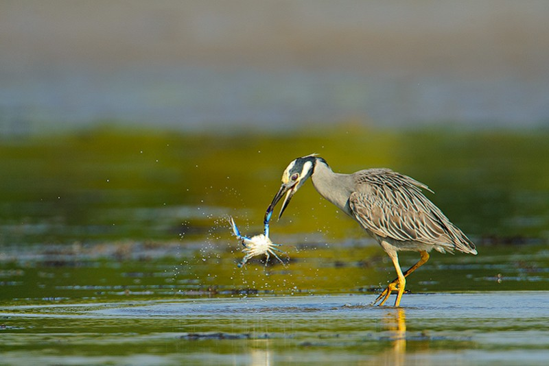 The Heron and the Crab