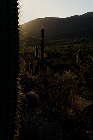 Backlit Saguaros