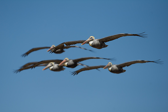 Flock of Brown Pelicans