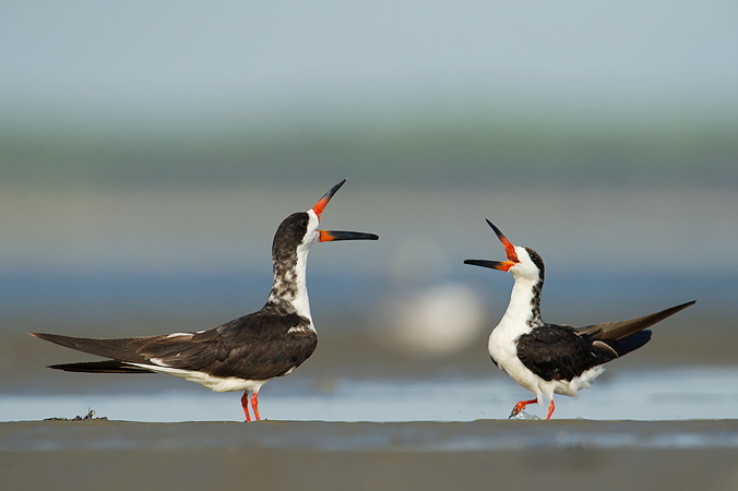 Black Skimmers quarrel