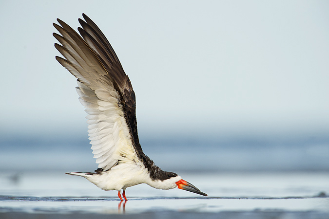 Black Skimmer stretching