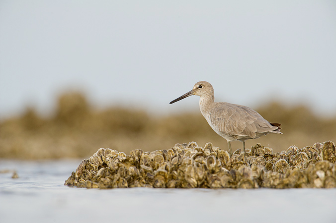 Willet on oyster bed