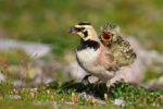 A Horned Lark chick begs to be fed