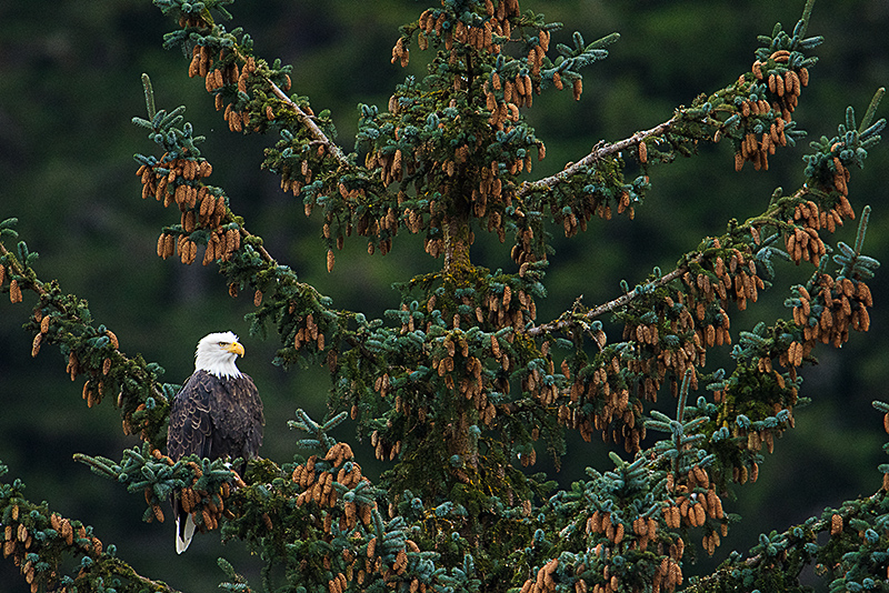 Bald Eagle in Sitka Spruce