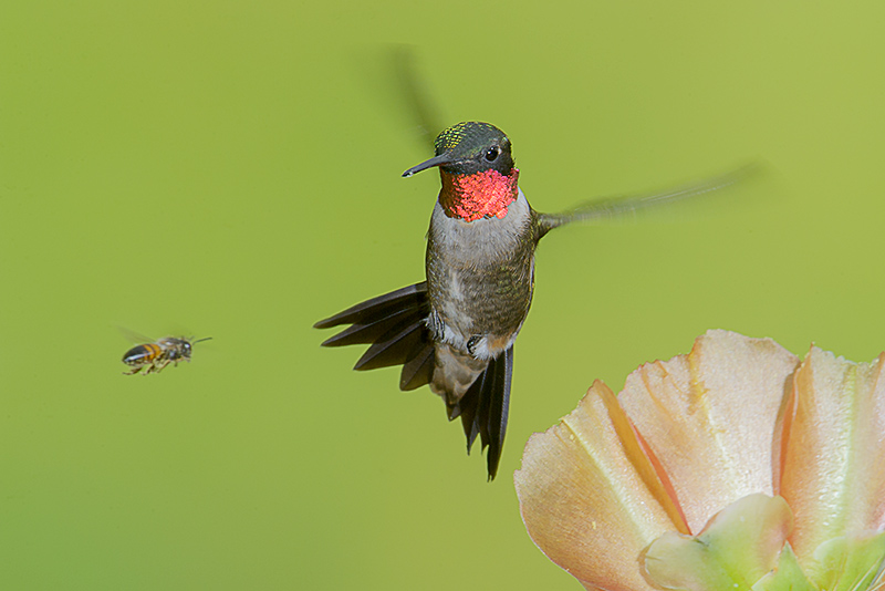 Ruby-throated Hummingbird and Honey Bee