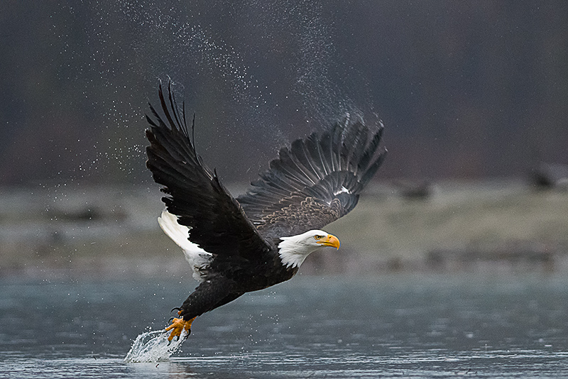 A Bald Eagle take flight