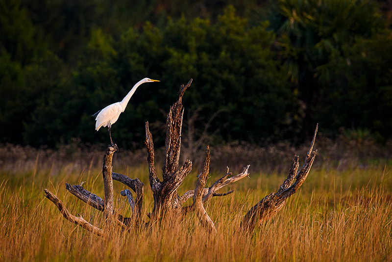 Great Egret in saltmarsh