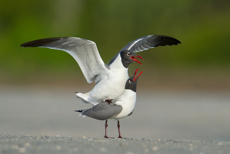 Fish Haul Creek Site Guide - Laughing Gulls
