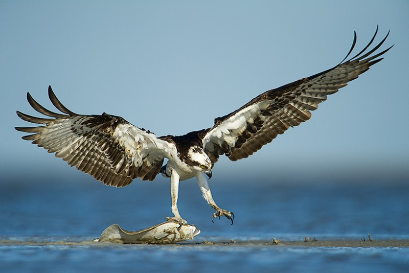 Osprey with Flounder